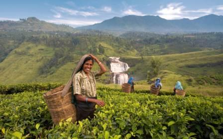 Tea Plucking Nuwara Eliya