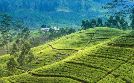 Nuwar Eliya Tea Plantation